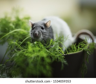 New Year Year of the Rat. Rat on a pot for greens. Gray-white rat.