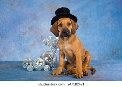 New Year Rhodesian Ridgeback puppy wearing top hat with large glass and mirror balls on blue mottled background