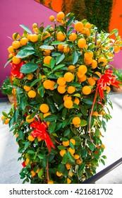 New years cumquat tree in china