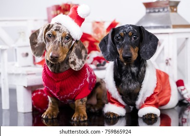 New Year's puppy, Christmas dog dachshund
