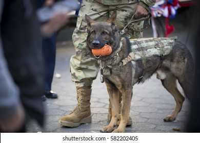 NEW YORK - 11 NOV 2016: Sarg, a NY Department of Corrections police dog and veteran SSGT Frankie Serrano at the opening ceremony in Madison Square Park and annual Americas Parade on Veterans Day.