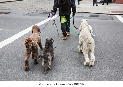 New York City Dog Walker. Animals and their owners on the streets of the big city. The dogs on the streets of NYC.