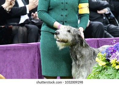 NEW YORK CITY - February 13 2018: The 142nd Westminster Kennel Club Dog Show took place in Madison Square Garden