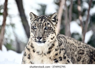 New York City, Jan 25, 2016: Snow leopard in Central Park Zoo.