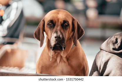 New York City, New York / United States - October 1, 2019: Hound gives a serious stare while drooling out of the side of his mouth. The dog has a beautiful brown coat and piercing eyes.