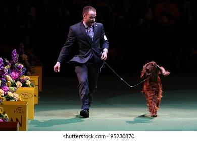 NEW YORK - FEBRUARY 14: Adam Bernardin handles Irish Setter Grand Champion Shadagee Caught Red Handed, Sporting Group winner at Westminster Kennel Club Dog Show on February 14, 2012 in New York City.
