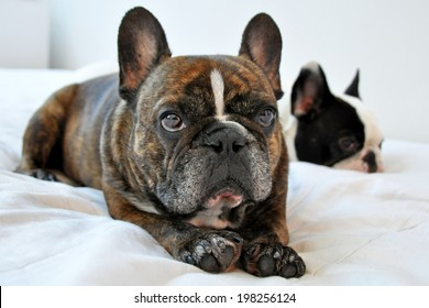 NEW YORK - JULY 2010:  Two adorable French Bulldogs rest comfortably together on a bed in New York City on July 3, 2010. The French bulldog is now America's 11th most popular purebred.