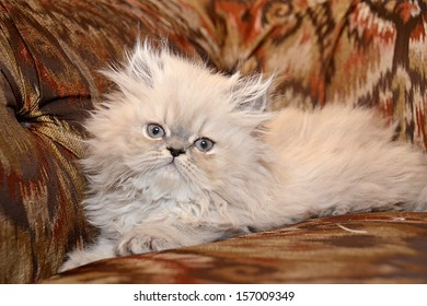 NEW YORK - JUNE 2013:  Adorable 8 week old Blue Lynx Persian kitten sits on a brightly printed couch on June 16, 2013 in Manhattan, New York.