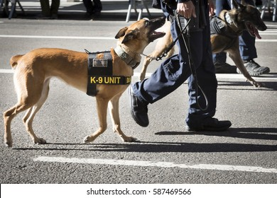 NEW YORK - NOV 11, 2016: Law enforcement K-9 service dogs walk in the annual Americas Parade produced by the United War Veterans Council UWVC on 5th Avenue on Veterans Day in Manhattan.