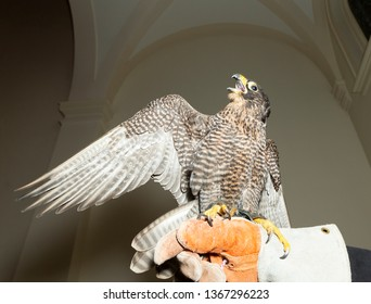 New York, NY - April 5, 2019: Peregrine falcon sits on hand of Bob Young master falconer during Dressed to Kilt charity fashion show 2019 edition at Church of the Holy Apostles