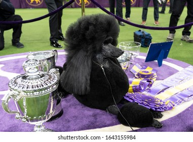 New York, NY - February 11, 2020: Winner of Best in Show Standard Poodle named Siba poses with trophies 144th Westminster Kennel Club Dog Show at Madison Square Garden