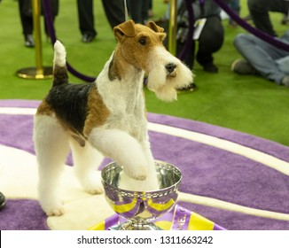 New York, NY - February 12, 2019: Wire fox terrier named King won Best in show during 143rd Westminster Kennel Club Dog Show at Medison Square Garden