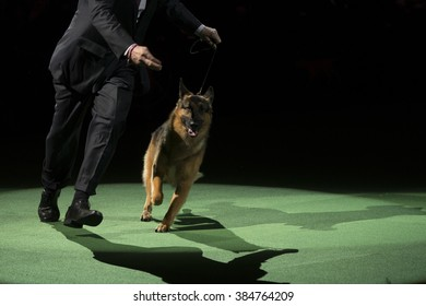 New York, NY - February 16, 2016: Best of herding group German shepherd runs at 140 Westminster Kennel Club dog show at Madison Square Garden