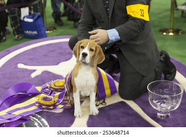 New York, NY - February 17, 2015: Best of Show Hound 15 inch Beagle Miss P poses with handler William Alexandre at 139 Westminster Kennel Club dog show at Madison Square Garden