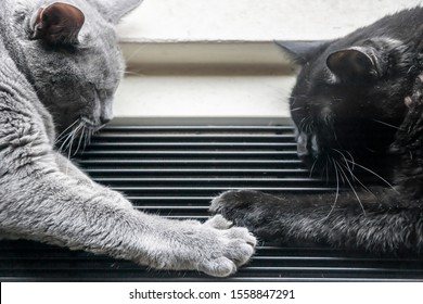 New York NY/USA_November 12, 2019 Sleeping rescued domestic shorthair cats touch paws in New York
