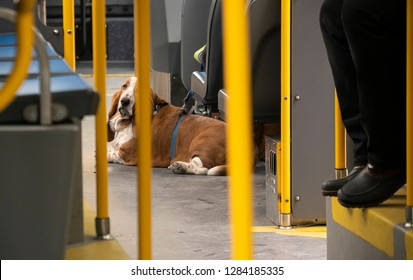New York NY/USA-January 12, 2019 A woman passenger's dog blocks the aisle on the M23SBS bus in the Chelsea neighborhood of New York