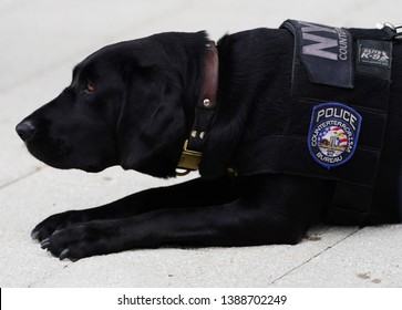 NEW YORK - SEPTEMBER 8, 2018: NYPD K-9 dog provides security at National Tennis Center during 2018 US Open in New York
