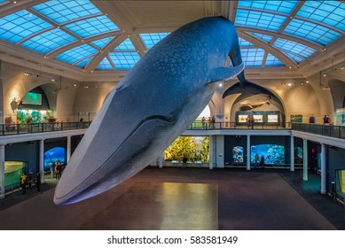 NEW YORK, USA - December 05, 2016: Blue Whale at Ocean Hall of the American museum of Natural History (AMNH)