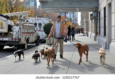 NEW YORK, USA-NOVEMBER 15, 2017: Man of Dog walking service in Manhattan with six dogs