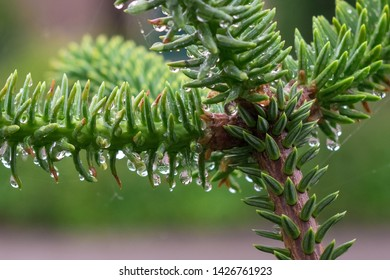 New young shoots of Spanish fir (Abies pinsapo ) with raindrops hanging on the soft needles