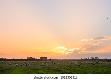 New zealand agriculture. Flock of sheeps and grassland growing in the rural area. sunset with warm light and blue sky scene.