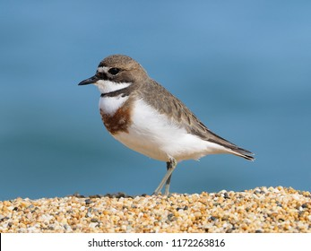 New Zealand Banded Dotterel, Catlins, New Zealand