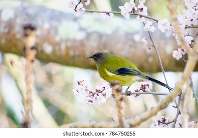 The New Zealand bellbird, also known by its Maori names korimako and makomako, is a passerine bird endemic to New Zealand. It is the only living member of the genus Anthornis.