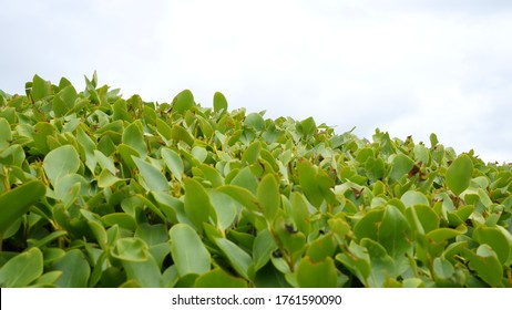 New Zealand broadleaf or 'Griselinia littoralis' is a fast growing evergreen tree