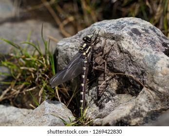 New Zealand Bush Giant Dragonfly (      Uropetala carovei) emerging from its nymph stage, Upper Otira Valley.