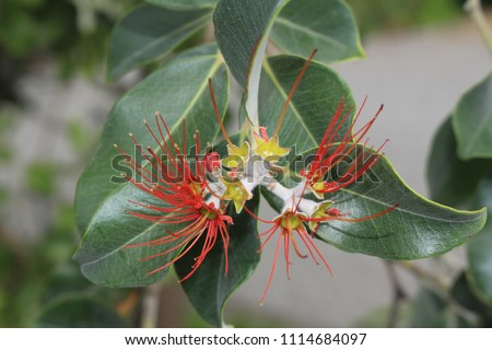 New Zealand Christmas Tree Flowers Or Stock Photo Edit Now