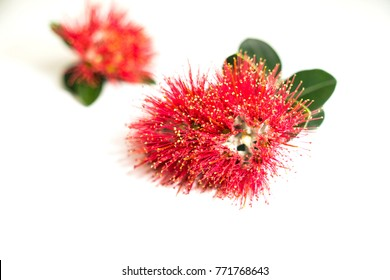 New Zealand Christmas tree or pohutukawa bright red flower closeup on white with out of focus background flower