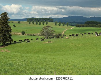 New Zealand cows grazing contentedly  in Waikato pastures