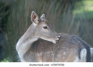 New Zealand Deer