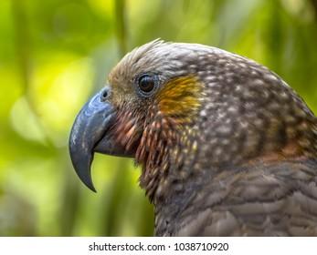 New Zealand endemic Kaka parrot (Nestor meridionalis) in rain forest of Kapiti island