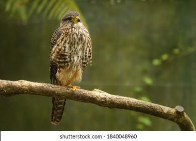 New Zealand Falcon - Falco novaeseelandiae - Karearea bird of prey from New Zealand, also called bush hawk and sparrow hawk.