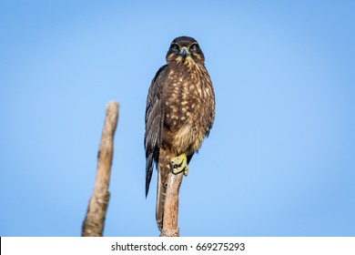 New Zealand Falcon perching on a branch looking at the camera on Kapiti Island