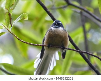 New Zealand Fantail bird perched on branch in forest. Black and white with fluffy breast and looking straight ahead. Forest backdrop.