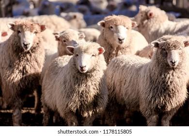 New Zealand farm sheep