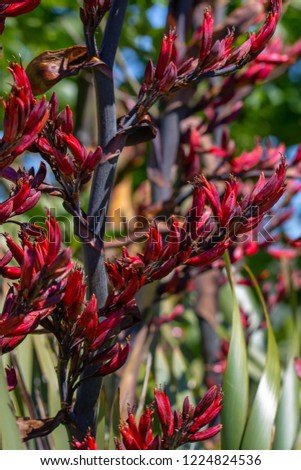 New Zealand Flax Harakeke Flowers Spring Stock Photo Edit Now