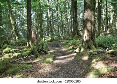New Zealand forest - Kepler Track hiking trail.