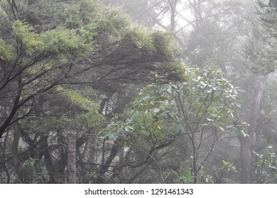 New Zealand forest of mostly Ti trees and some young kauri in rainy weather causing low visibility and gloomy impression.