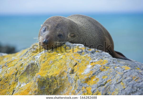 New Zealand Fur Seal, Arctocephalus forsteri, Kaikoura, South Island, New Zealand