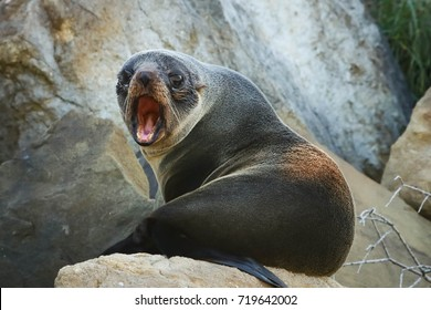New Zealand fur seal sitting on rocks and barking in fear to keep photographer away