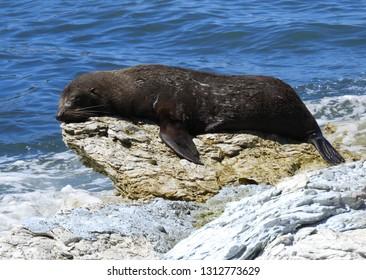 new zealand fur seal sunbathing on the limestone rocks along the scenic kaikoura peninsula walkway in kaikoura on the south island of new zealand