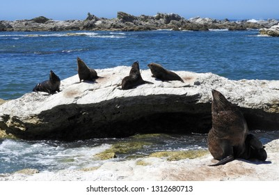 new zealand fur seals sunbathing on the limestone rocks along the kaikoura peninsula walkway in kaikoura on the south island of new zealand