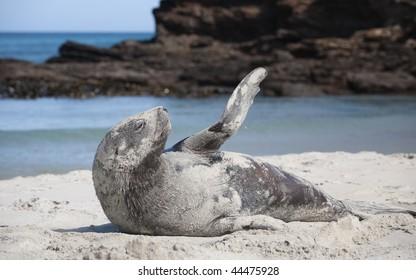 New Zealand (Hooker's) Sea Lion Phocarctos hookeri on St Kilda Beach, Dunedin, New Zealand