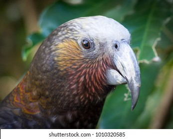 New Zealand Kaka, Brown Parrot, North Island, New Zealand