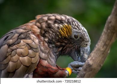 New Zealand Kaka Brown Parrot