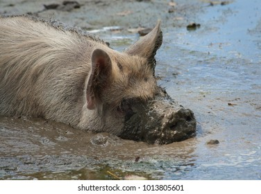 New Zealand Kunekune pig wallowing in the mud