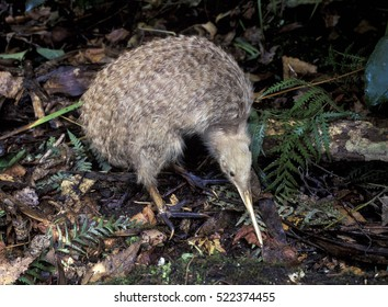 New Zealand, a little spotted kiwi.